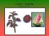 rosediseases05