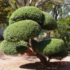 bonsai-350
