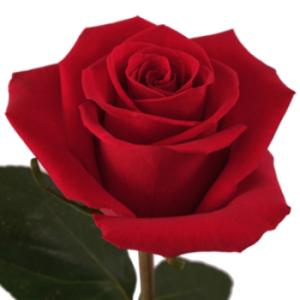 rose-350