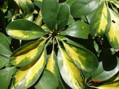 Umbrella Plant 1