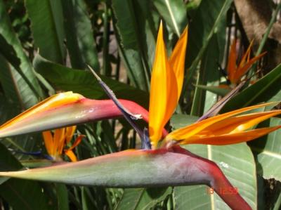 Plant van die week – strelitzia reginae (strelitziaceae)