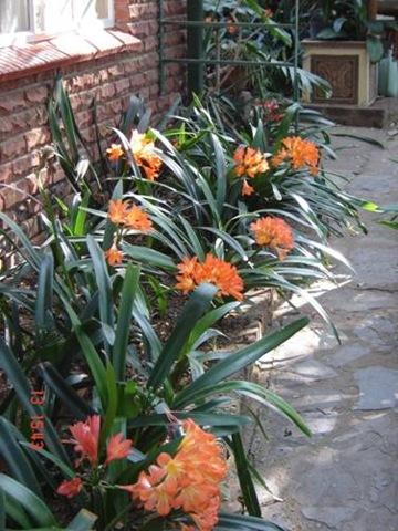Tuinuitlegte met clivias florcom gardens for Klein tuin uitleg