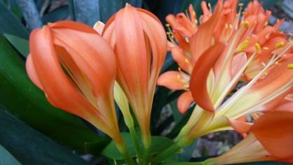 Let op na die gekartelde blare hierdie plante blom elke jaar