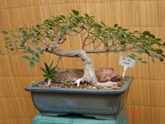 Ficus Burt-davyi